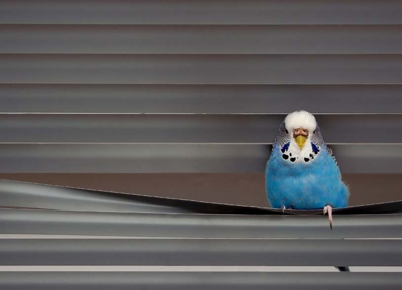 Budgie Picture: blue budgie playing in the blinds