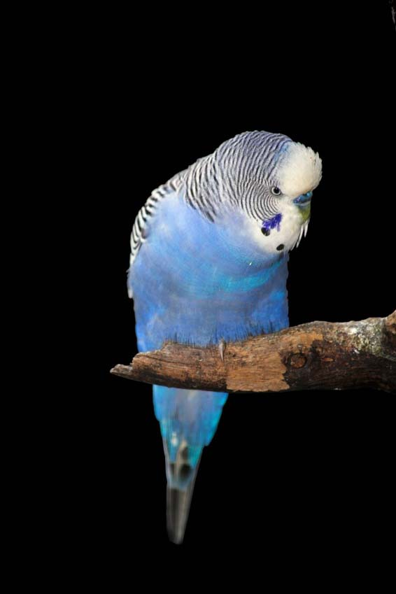 Budgie Picture: blue budgie on a branch
