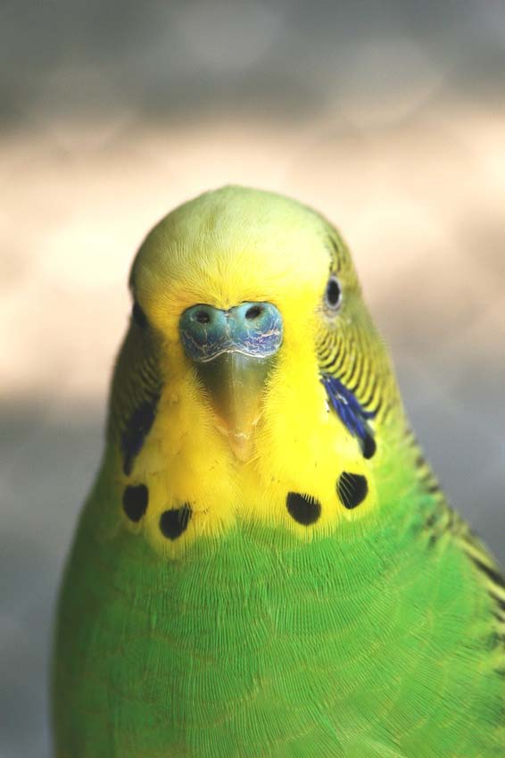 Budgie Picture: green budgie