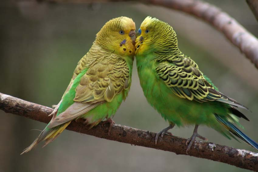 Budgie Picture: green budgies on a branch