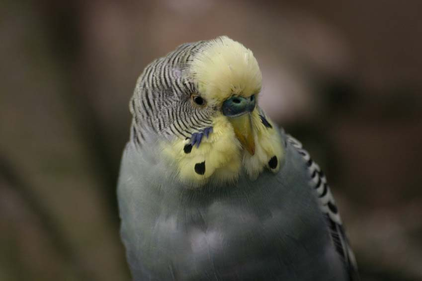 Budgie Picture: grey budgie floof