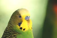 Budgie Picture: green-budgie-face