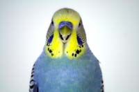 Budgie Picture: yellow-blue-budgie