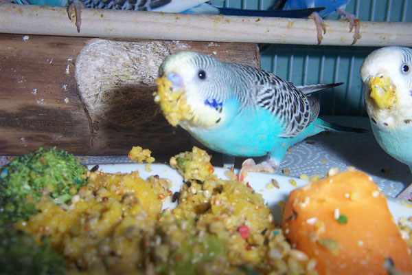 Budgie Food : 6 budgies eating from veggie mush from a plate