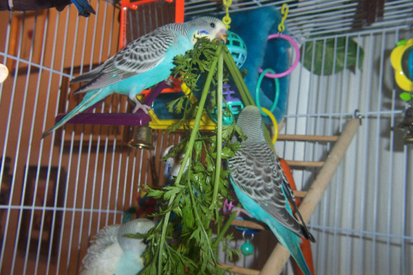 Budgie Food : budgies eating carrot tops