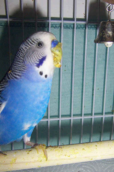 Budgie Food : female budgie eating kale & carrot tops