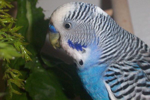 Budgie Food : male budgie eating carrot tops