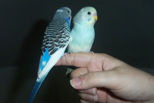 Budgie Training