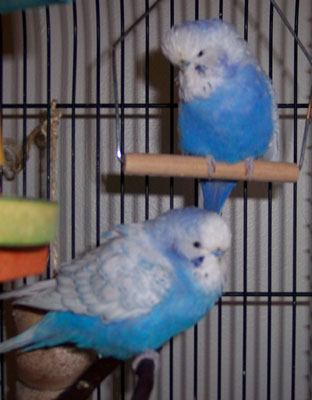 Statler & Waldorf - english budgie brothers